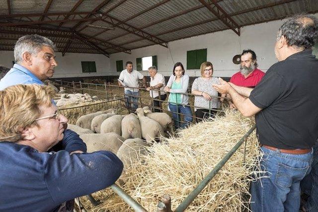 La Diputación de Cáceres entrega ovejas a los ganaderos