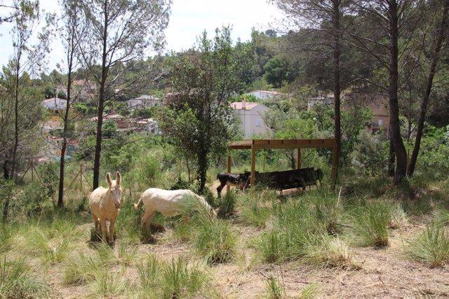 Sant Boi inicia una prueba piloto de limpieza forestal con la ayuda de burros
