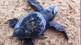 Un ejemplar de tortuga boba ('Caretta caretta')