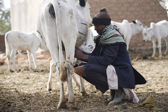Un pastor fulani ordeña a una vaca