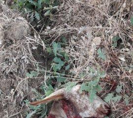 Nuevo ataque de lobos en Luelmo (Zamora) con once ovejas muertas