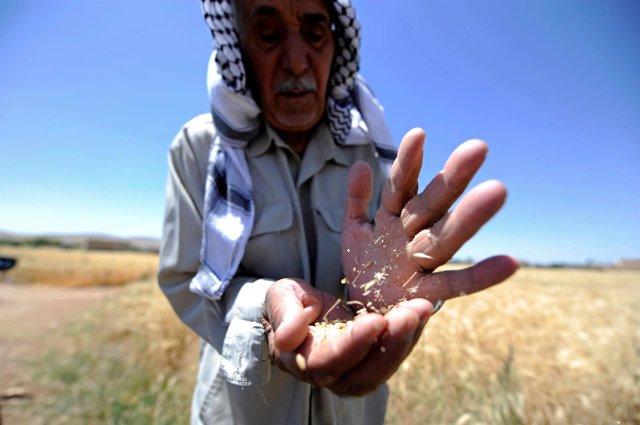 Trigo en Siria
