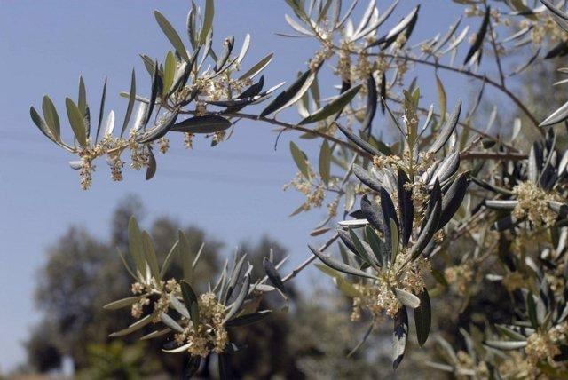Resultado de imagen de brot de l'olivera