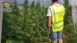 Tres detenidos por cultivar 265 plantas de marihuana en Pedreguer, algunas escondidas en un bancal cavado