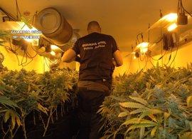 Detenidos tres individuos con más de medio millar de plantas de marihuana y 200 esquejes