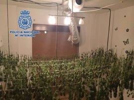 Desmantelada en Motril una plantación con 8.215 gramos de cogollos de marihuana con un detenido