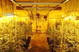 Detenido un septuagenario y 735 plantas de marihuana incautadas en Camarena