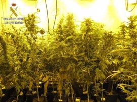 Dos detenidos por cultivar 547 plantas de marihuana en Torrejón del Rey