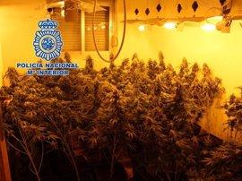 Cinco detenidos y 400 plantas de marihuana intervenidas en tres viviendas de la zona Norte de Granada
