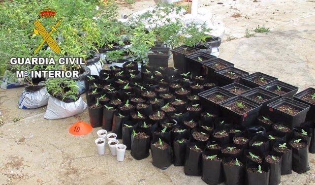 Zamora: plantas incautadas