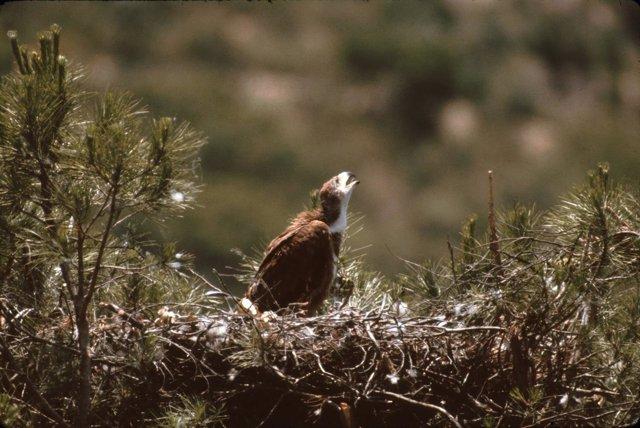 Aguila Imperial En Nido