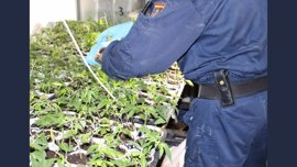 Dos detenidos y más de 100 plantas de marihuana confiscadas en Elche