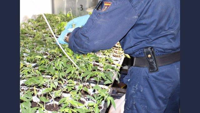 La Policía Nacional Incauta Más De 100 Plantas De Marihuana En Una Operación Con