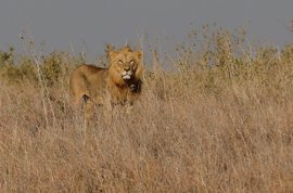 Cuatro leones escapan del Parque Nacional Kruger de Sudáfrica
