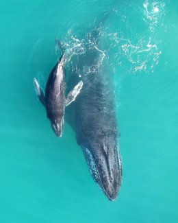 Madre y bebé de ballena jorobada