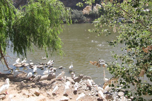 Patos en el río Tajo