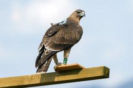 El proyecto europeo 'Life Bonelli' reintroduce un centenar de crías de águila perdicera en cinco años