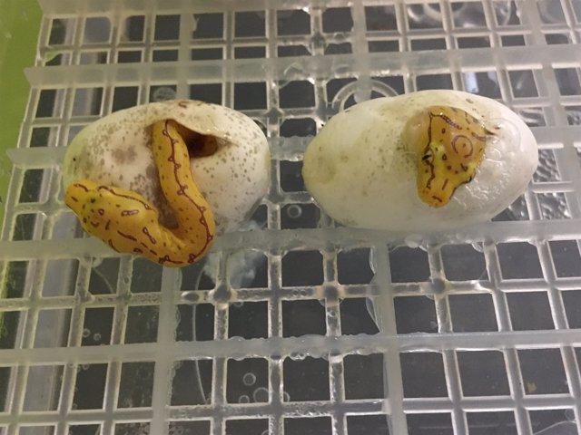 Dos de las crías en el momento de la eclosión del huevo