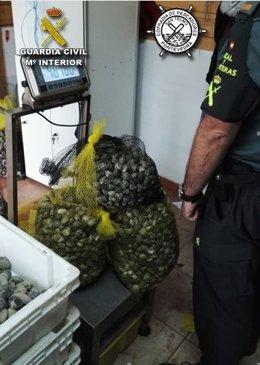 Intervenidos 100 kilos de almeja extraida por mariscadores furtivos.