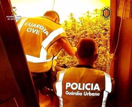 Cae un grupo que cultivaba marihuana en Tarragona y robaba a otros traficantes