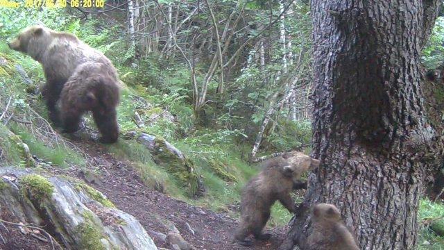 Osos en el parque natural Alt Pirineu