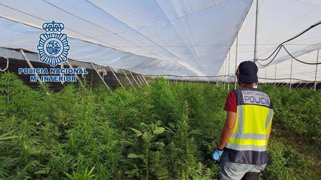 """""""La Policía Nacional Desmantela Una Plantación De Cannabis Sátiva En Un Invernad"""