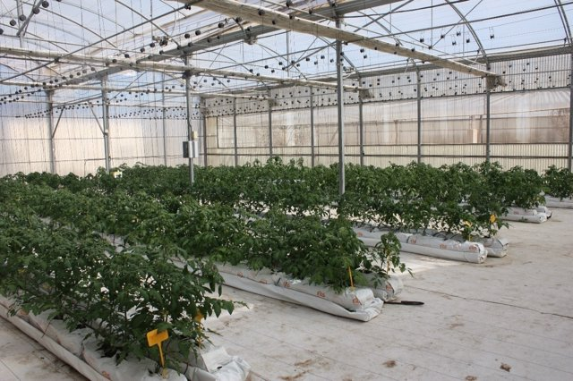 El cultivo hidropónico de tomate