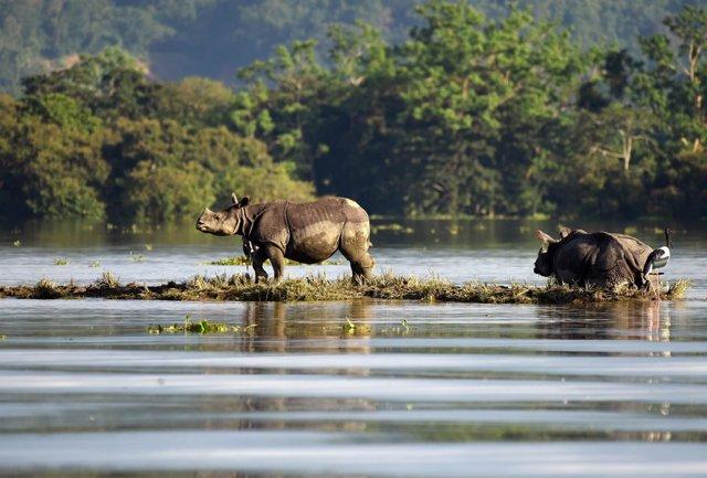 Rinocerontes del Parque Nacional de Kaziranga en Assam, India