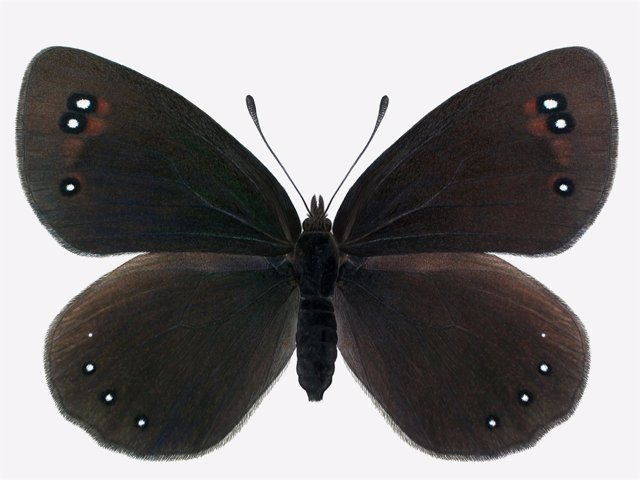 Ejemplar de Erebia lefebvrei Abosi hallado en la sierra de Guara.