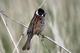 Alertan del peligro que puede suponer el proyecto eólico de la Costa da Morte para un pájaro en peligro de extinción