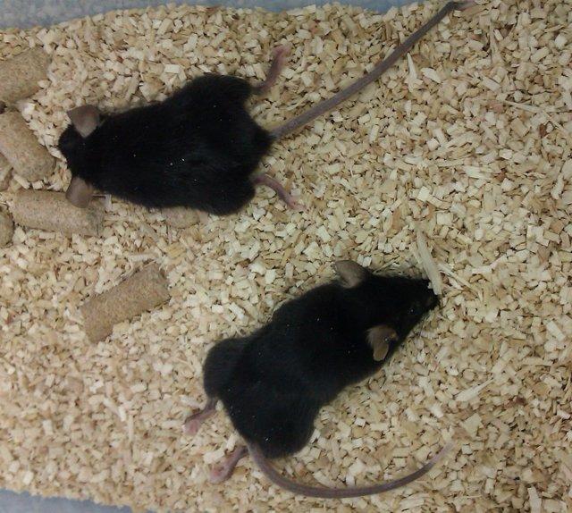 En la imagen se ve la paralización de las piernas traseras en los ratones