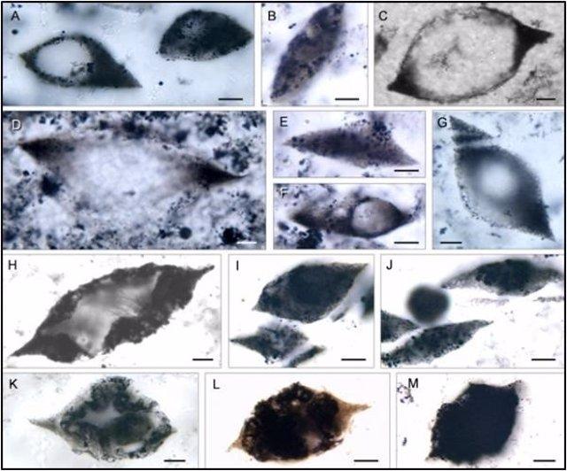 Aspecto de los microfósiles