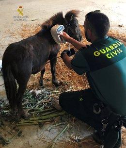La Guardia Civil Investiga A Un Joven De 23 Años Por Robar Un Pony En La Provinc