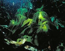 Alga Laminaria