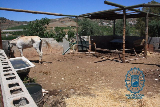 Caballo equino animal maltrato desnutrido policía local málaga suciedad