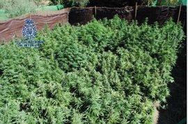 Desmantelada una plantación de marihuana de gran altura en una finca con animales desnutridos