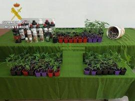 La Guardia Civil aprehende 98 plantas de marihuana en Torre de Don Miguel y detiene a su propietario