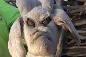 Este es el rostro de la cabra argentina con rasgos humanos, una especie