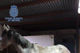 Rescatados cuatro equinos desnutridos en Vélez-Málaga y detenido el dueño por maltrato animal