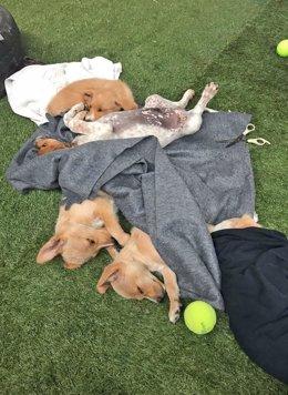 Fwd: Ndp Adoptados En 20 Días Los Cachorros Abandonados En Cabanillas