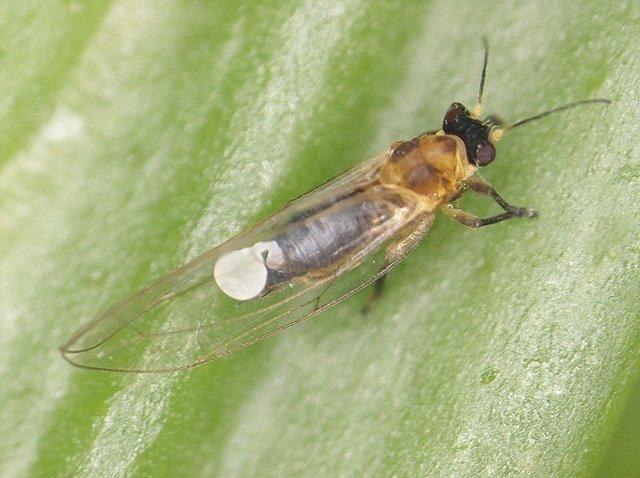 Nota De Prensa Canarias Estudia Métodos De Control De Trioza Erytreae, El Insect