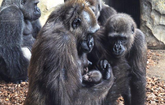 Nace el tercer bebé gorila valenciano en Bioparc
