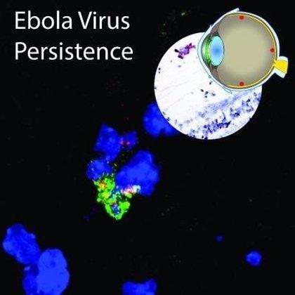 El Ébola permanece en monos supervivientes cuando desaparecen los síntomas