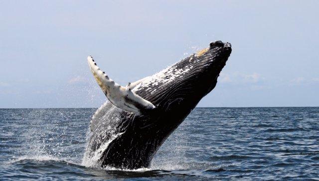 Ejemplar de ballena jorobada saltando
