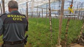 Intervenidas más de 2.500 plantas de marihuana en una explotación agrícola en Adra (Almería)
