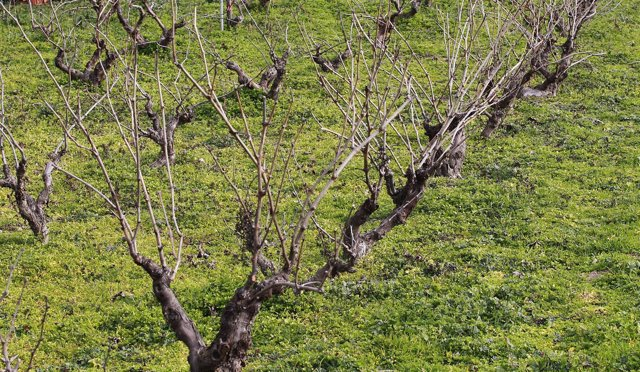 Campo de cultivo, agricultura, agricultor, parra, parras, viñas, viñedo, uva