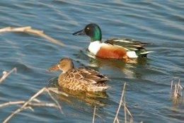 Pájaros acuáticos, patos, aves