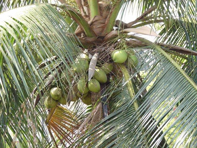 Coco, palmera