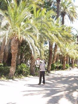 Un operario instala un hongo en una palmera, en Elche