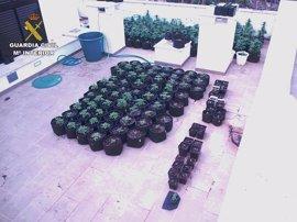 La Guardia Civil detiene a dos jóvenes por cultivar más de 200 plantas de marihuana en Menorca